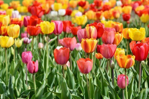 Burbujas económicas: La burbuja de los Tulipanes